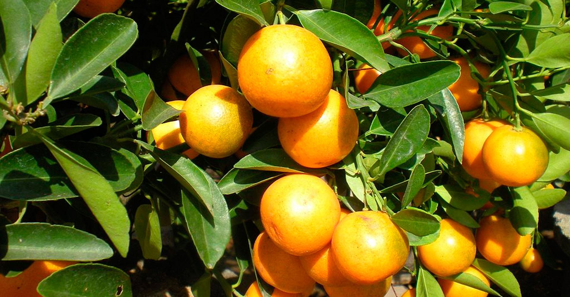 Pala Zitrusfrüchte