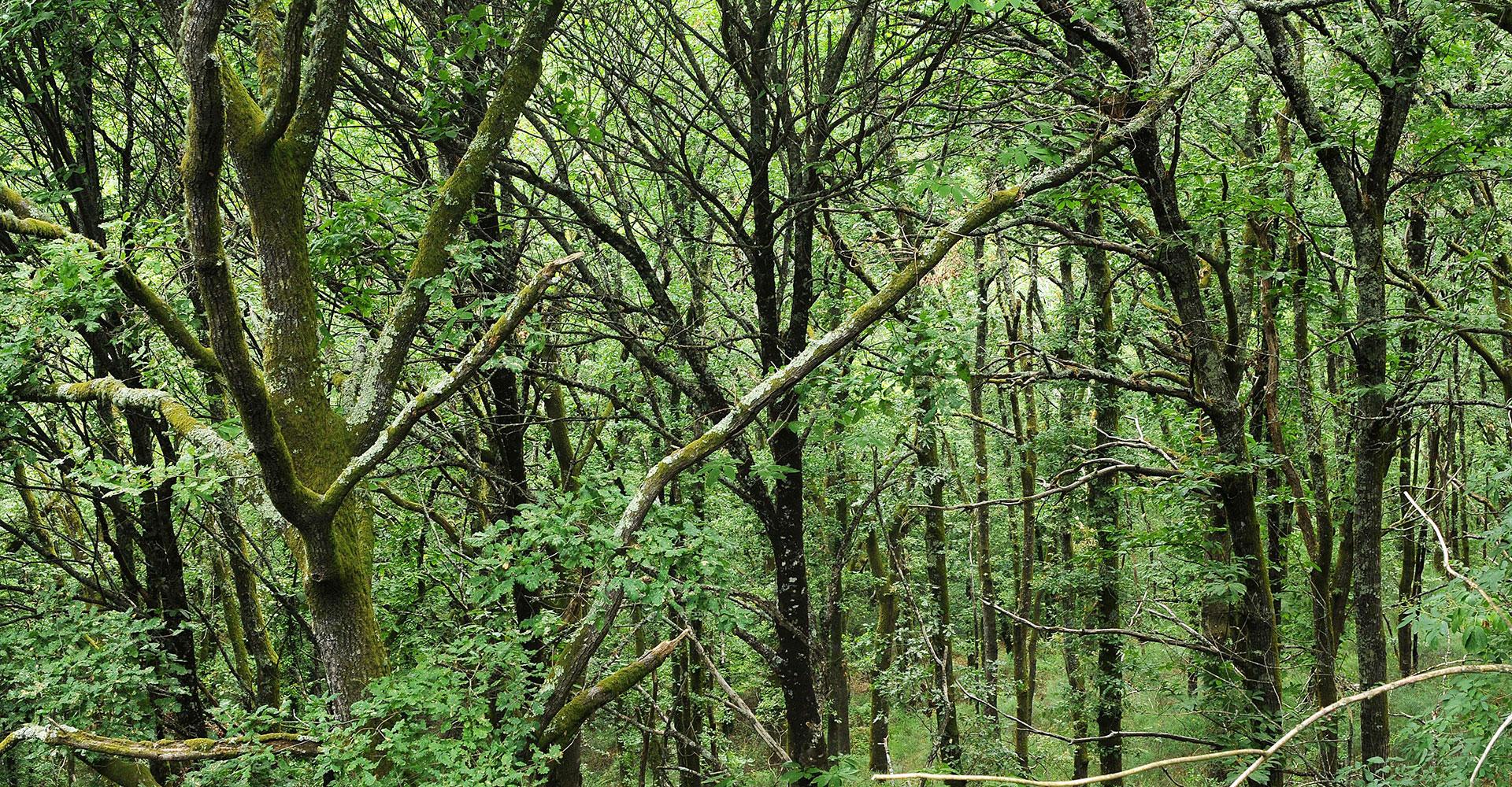 Reixela Oak Forest